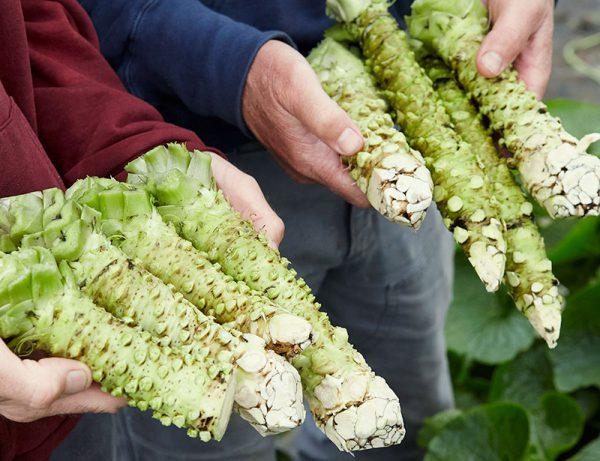 Fresh Wasabi Rhizomes